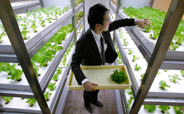 pasona-urban-underground-farm-employee-harvesting-urbangardensweb