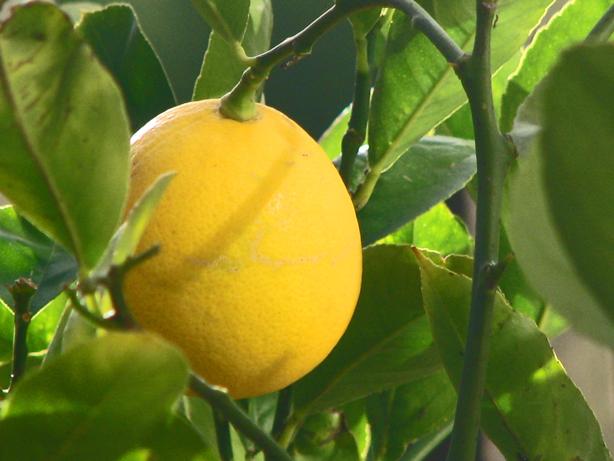 Meyer-Lemon-614