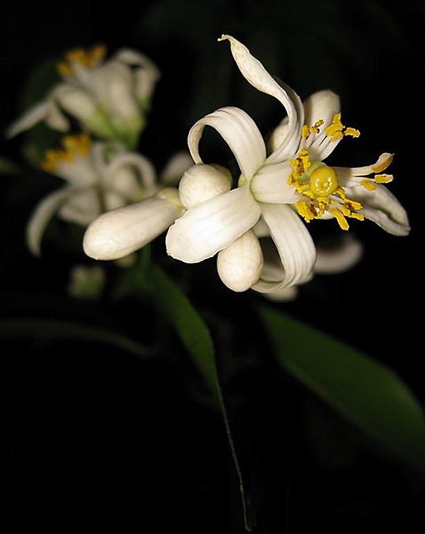 Meyer-Lemon-Bloom-614