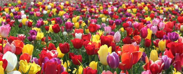tulips-1_614