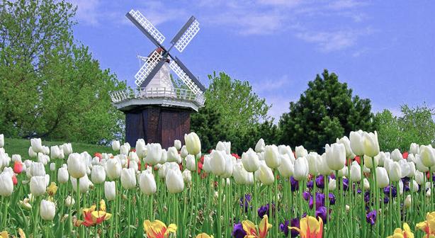 tulips-windmill_614