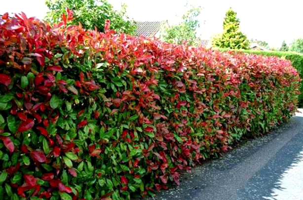 Red-tipped Photinia adds splash of color to privacy hedge from Garden Goods Direct