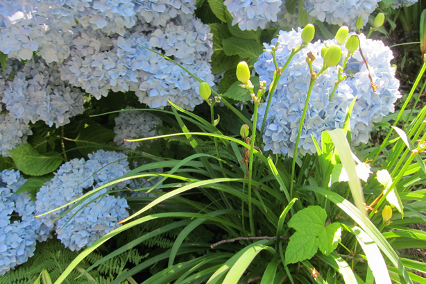 Connecticut-house-and-garden-makeover-hydrangeas-robin-plaskoff-horton-urbangardensweb