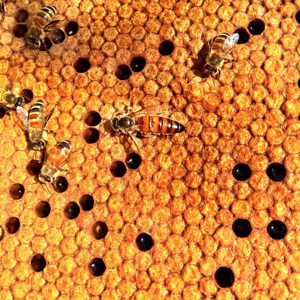 bees at largest solar farm apiary in America with 48 hives and pollinator arrays