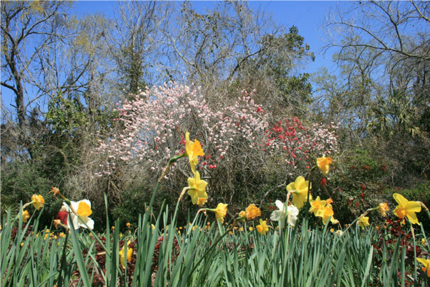 Magnolia Plantation and Gardens Blooms