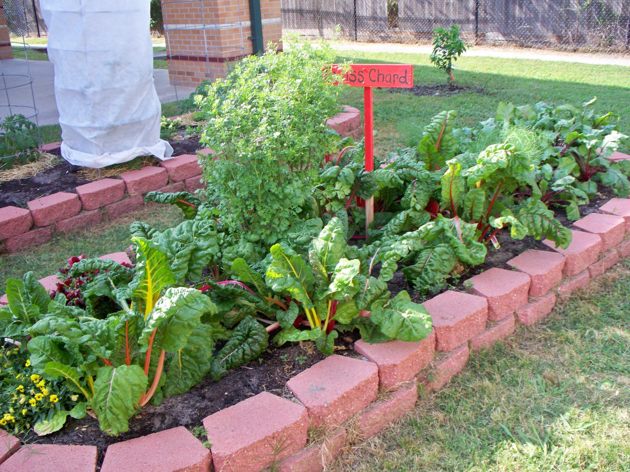 fall gardening_tinsley_chard (1)
