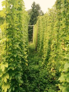 Hops for beer