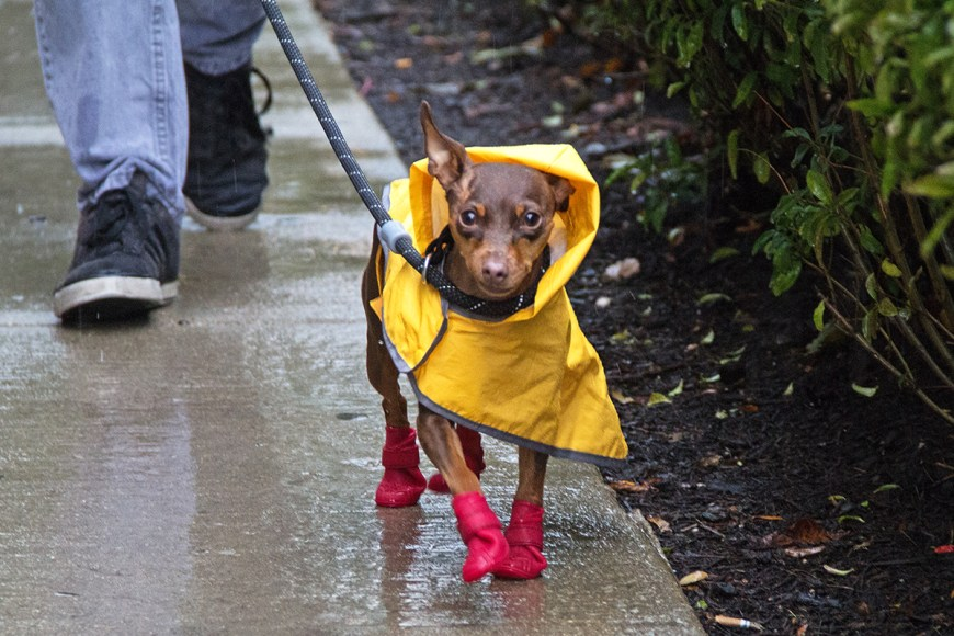 Dog wearing raincoat and rain boots in Chicago