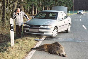incidente-cinghiale