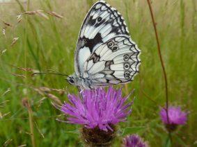 Papillon demi-deuil - Ur eta Lur, Canyoning et Randonnées