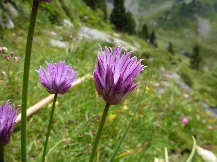 Ciboulette sauvage - Ur eta Lur, Canyoning et Randonnée