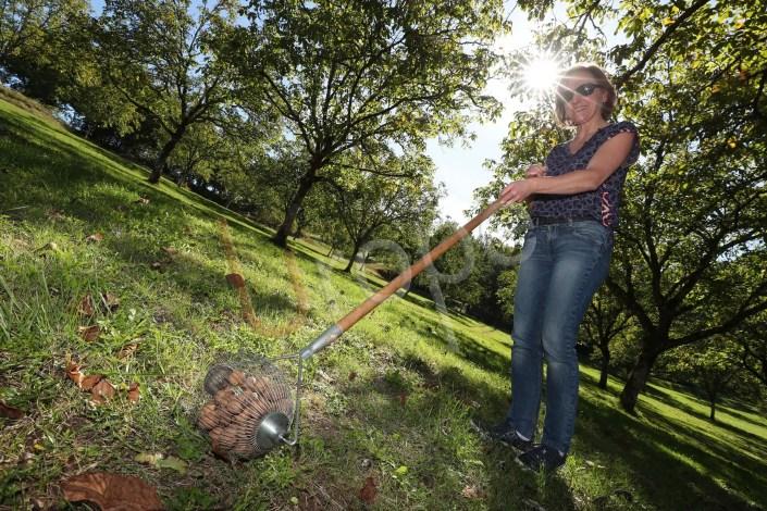 Image d'une femme durant la cueillette des noix en Périgord noir