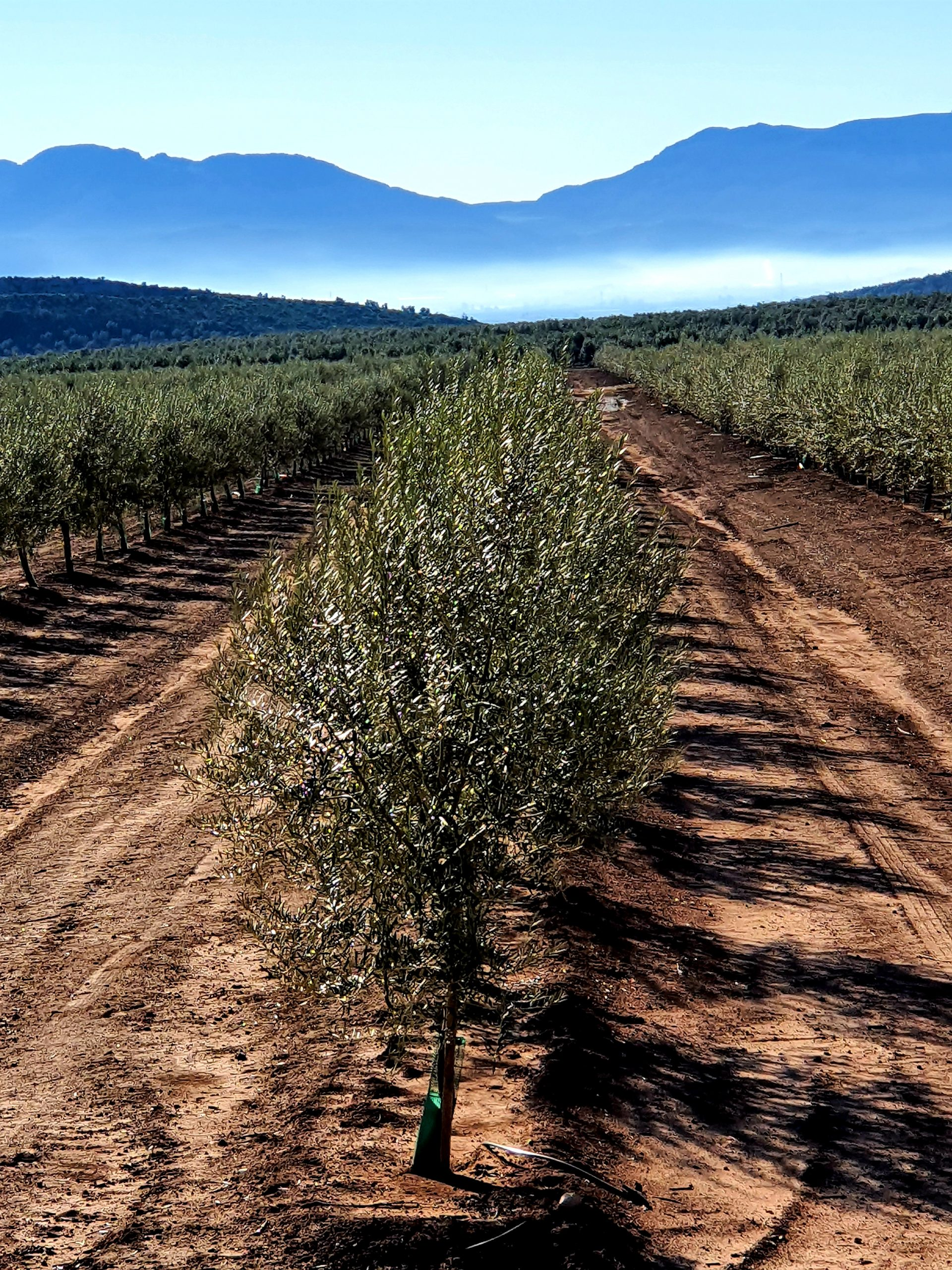 Whilst driving through the olive groves on a crisp Andalucian morning, near to Antequera, I stopped the car, rolled down the window and took the pic.