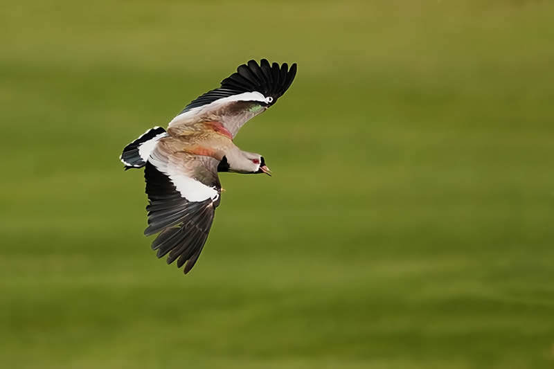 El Tero una de las aves Uruguaya