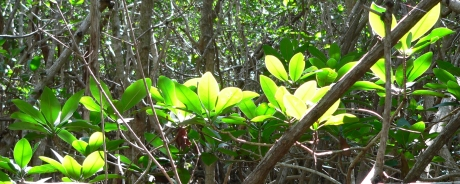 Glistening Red Mangroves