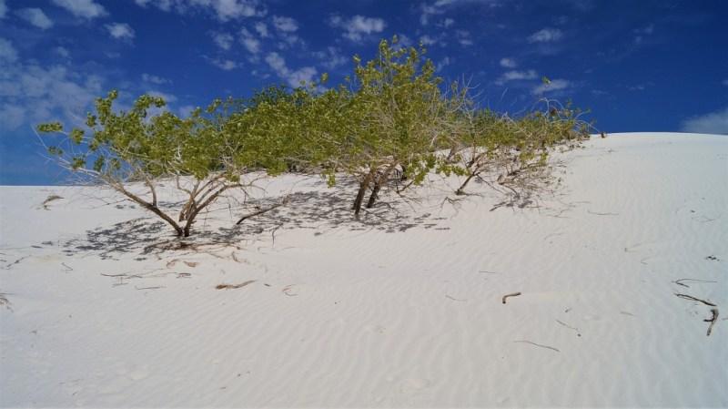 grüne Bäume White Sands