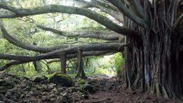 Banyan Baum auf der Insel Maui, Hawaii.