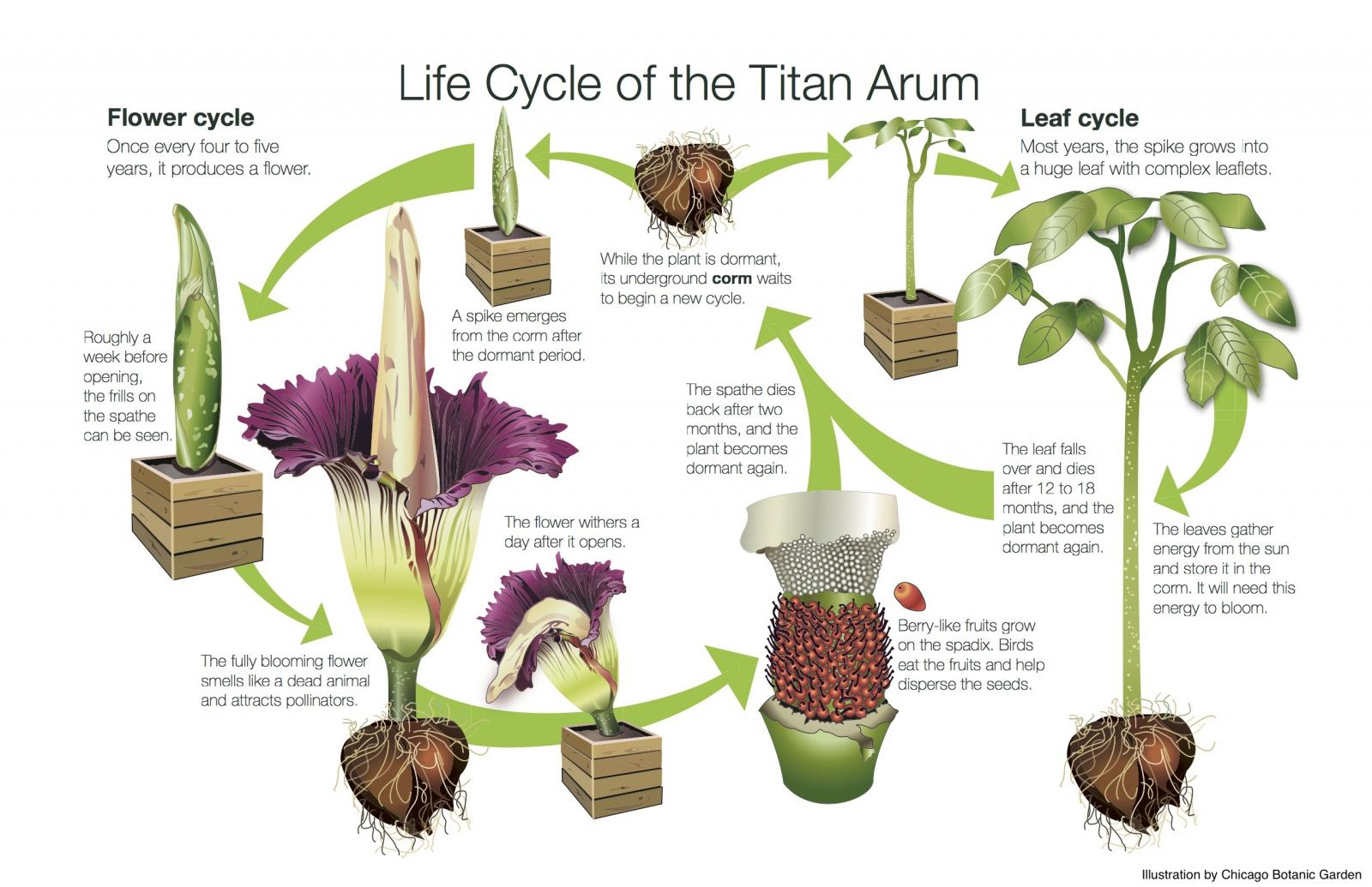 Three Corpse Flowers Bloomed At Usbg In