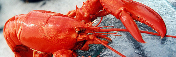 A lobsters' blood is colorless