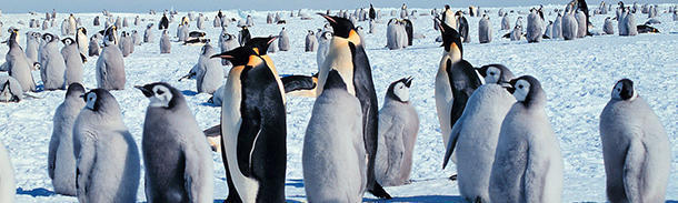 To what depth can an emperor penguin dive?
