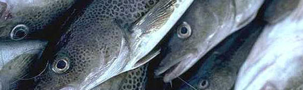 Cods are sent from Scotland to China to be filleted