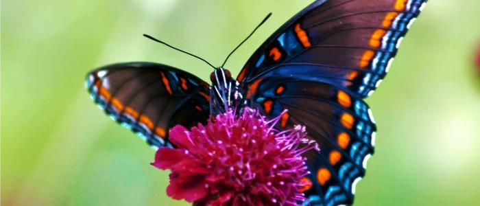 Do butterflies have a memory of their first life stages?