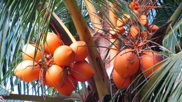 king coconut