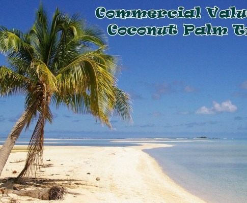 Commercial Value of Coconut Palm Tree