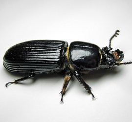 Black Palm Beetle