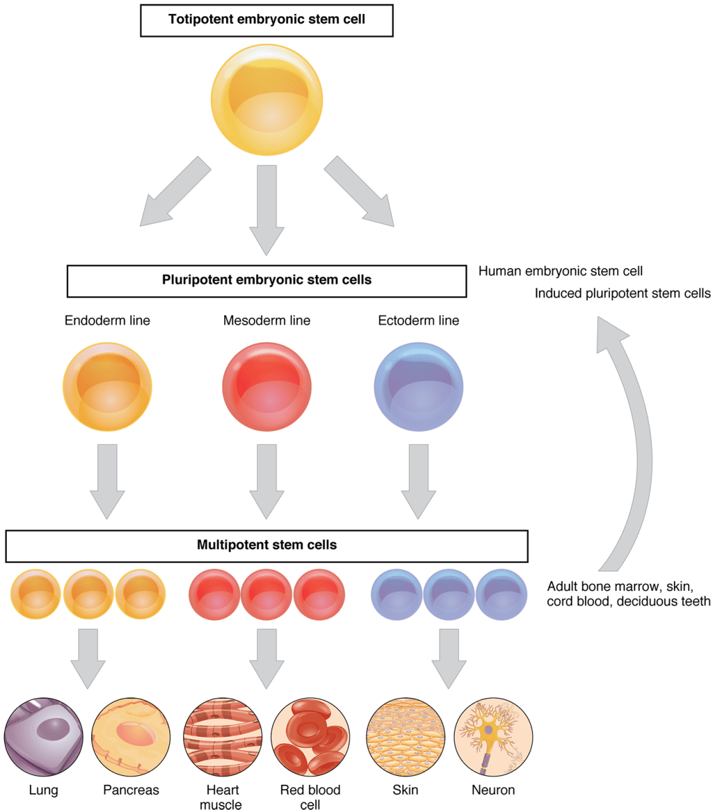 A diagram of stem cells, relating the hierarchy of stem cell differentiation from totipotent embryonic stem cells to fully differentiated cells
