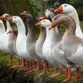 Комбикорм для молодняка птицы ПК-4 Комбикорм для молодняка птицы ПК-4 - 40 кг/меш