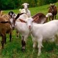 Комбикорм для овец/коз ОК-80 Комбикорм для овец/коз ОК-80 - 30 кг/меш