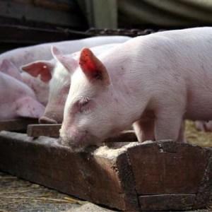 Комбикорм для свиней СК-8 Комбикорм для свиней СК-8 - 40 кг/меш