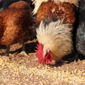 Комбикорм для кур цена – купить комбикорм для кур оптом цена