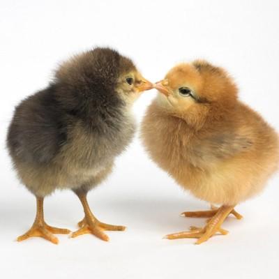 Комбикорм для цыплят – купить комбикорм для цыплят оптом цена