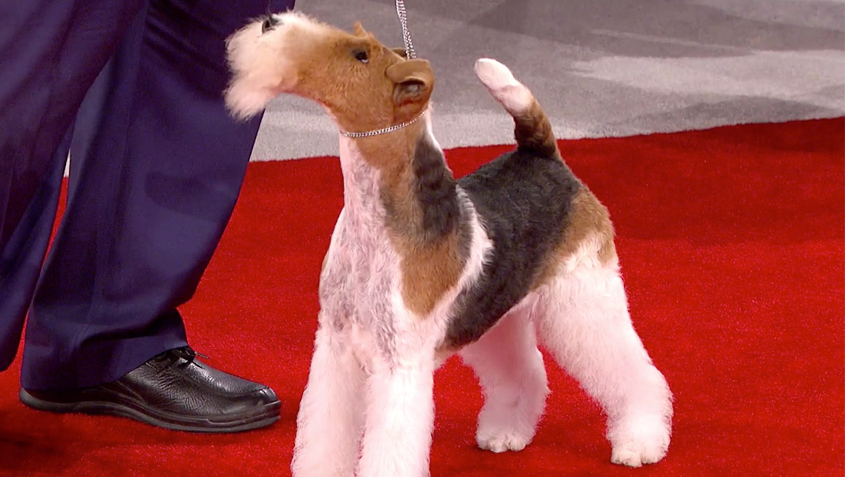 King, the winner of the 2018 Beverly Hills Dog Show
