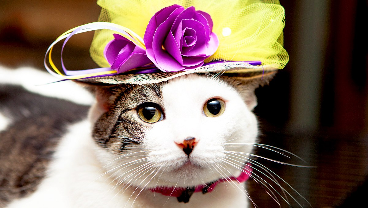 Custard Royal Wedding Cats in Fascinators Gallery