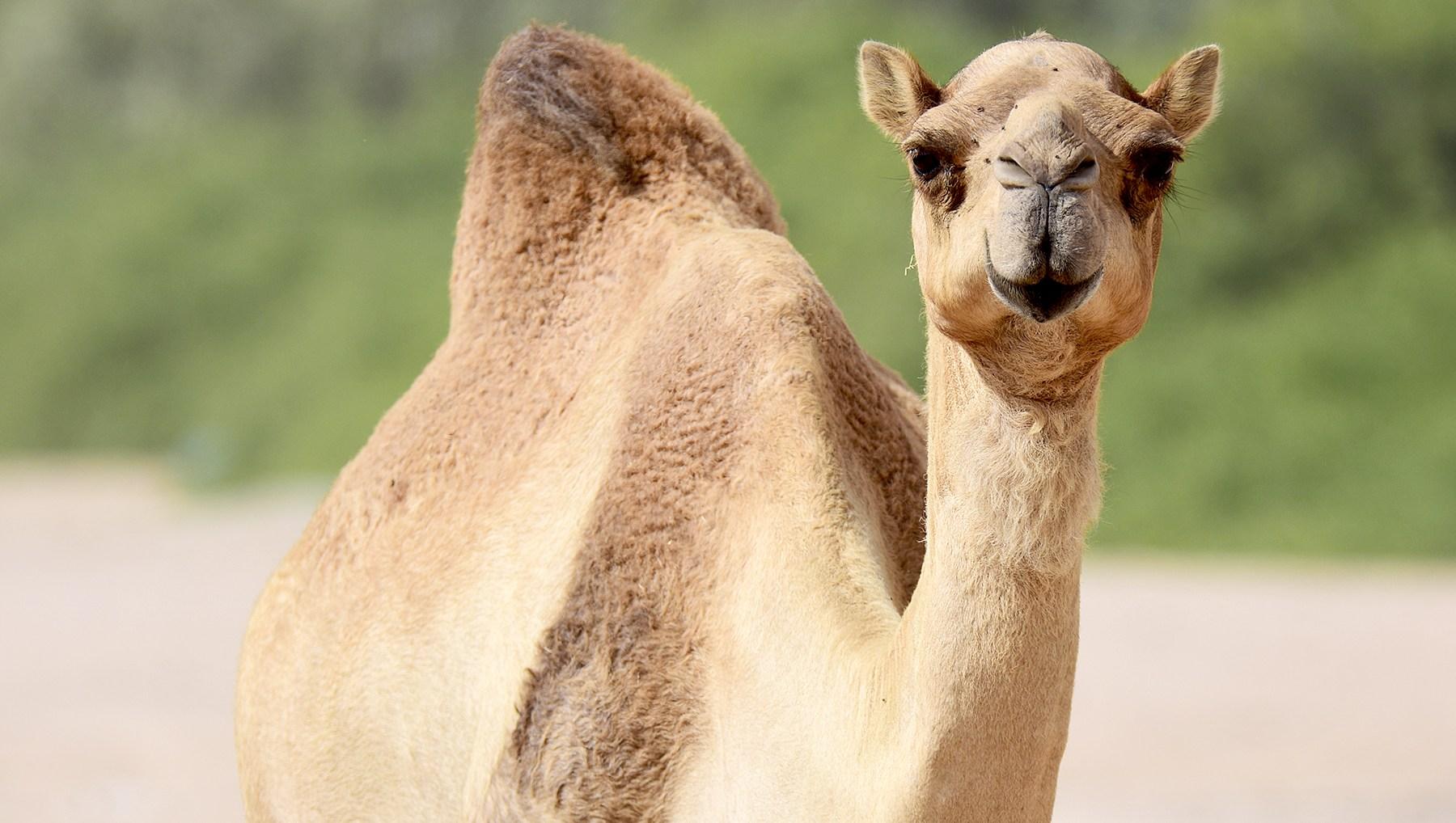 camel-milk