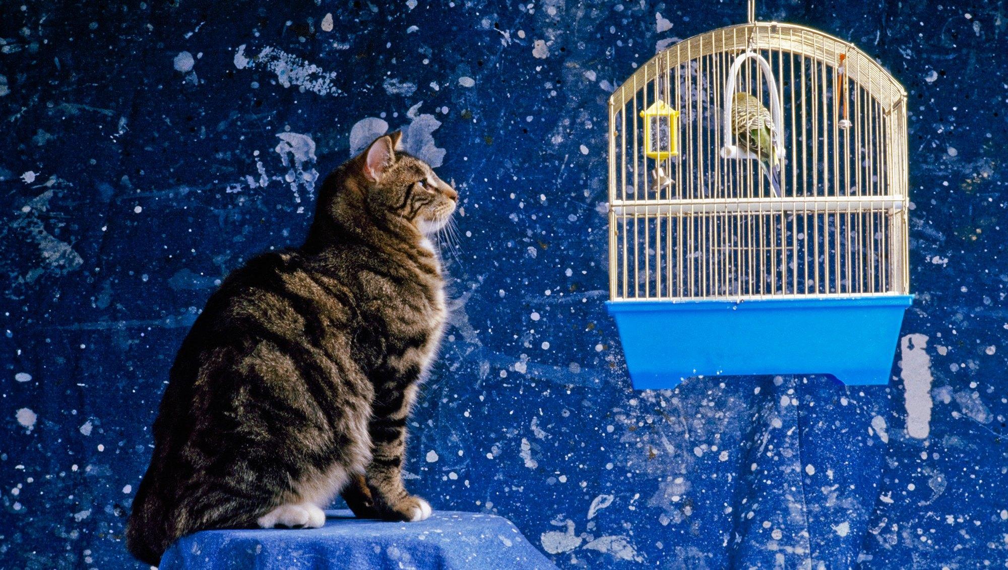 Parakeet Cat