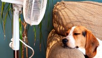 A dog stays cool by a fan.