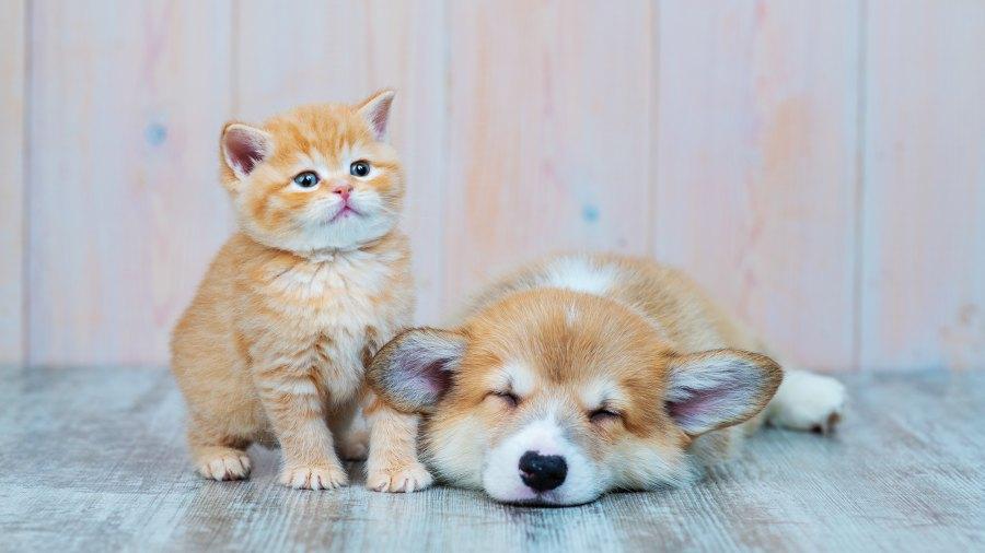 kitten-puppy