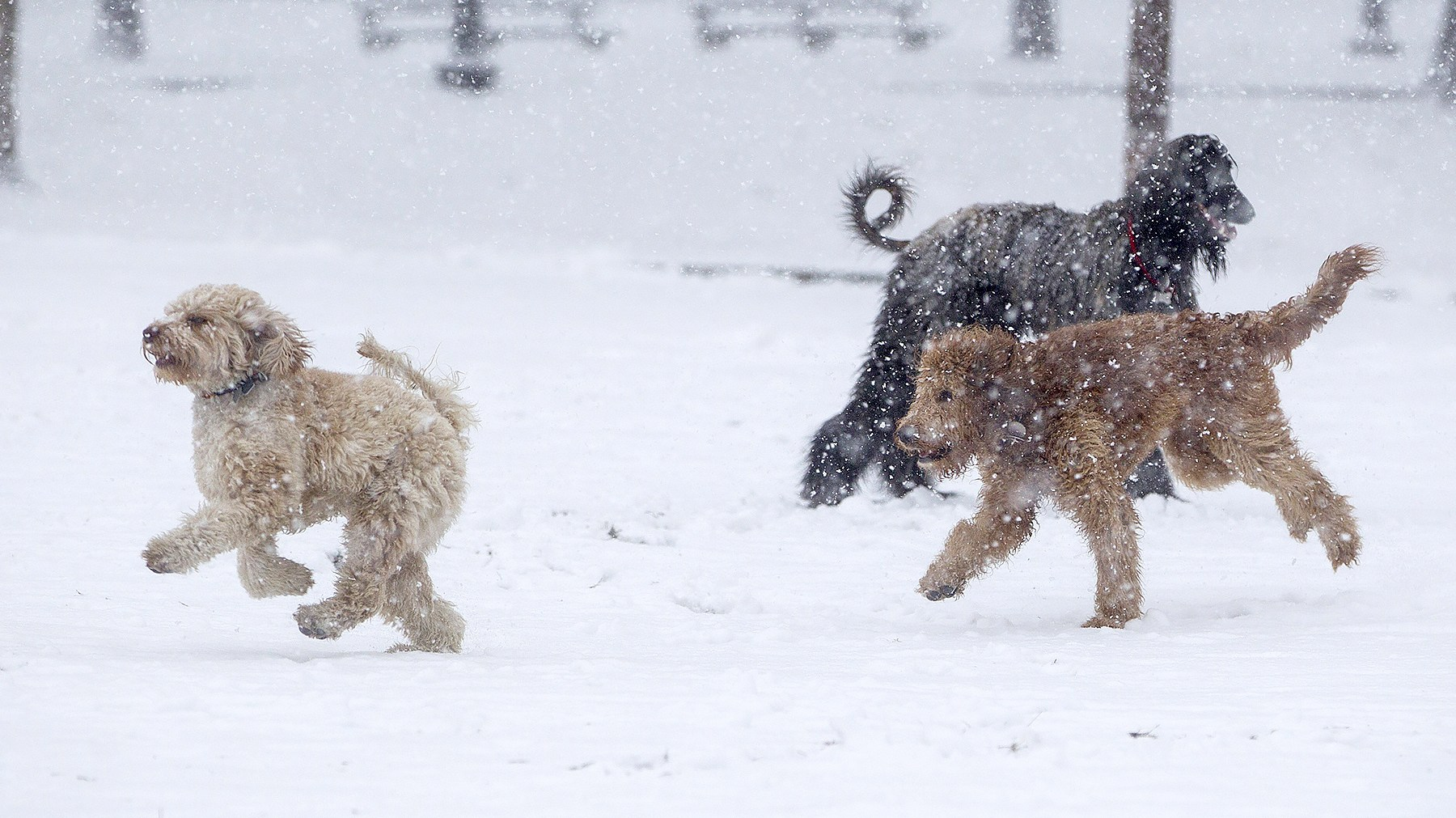 Dogs play in the snow on the Boston Common as Winter Storm Stella bears down on March 14, 2017 in Boston, Massachussets.