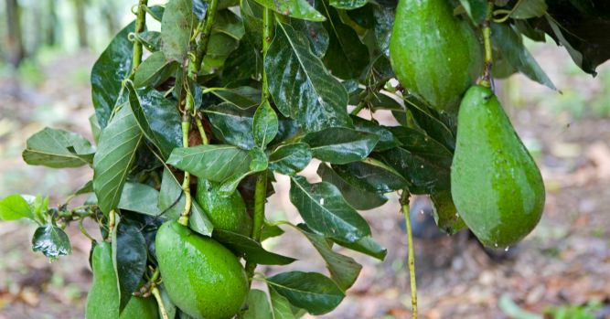 Avocados recalled in bulk following reports of Listeria 6