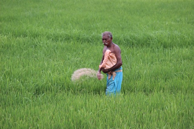 A farmer in Kerala's hinterlands applies chemical fertilisers to his rice paddies. Large areas under unsustainable agricultural methods world-over in a drive for higher food production has damaged the environment. Scientific climate friendly methods are available and are equally productive.
