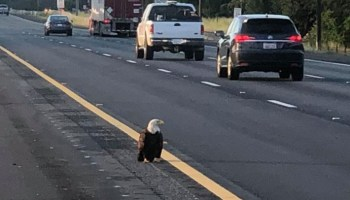 Injured bald eagle rescued from California interstate