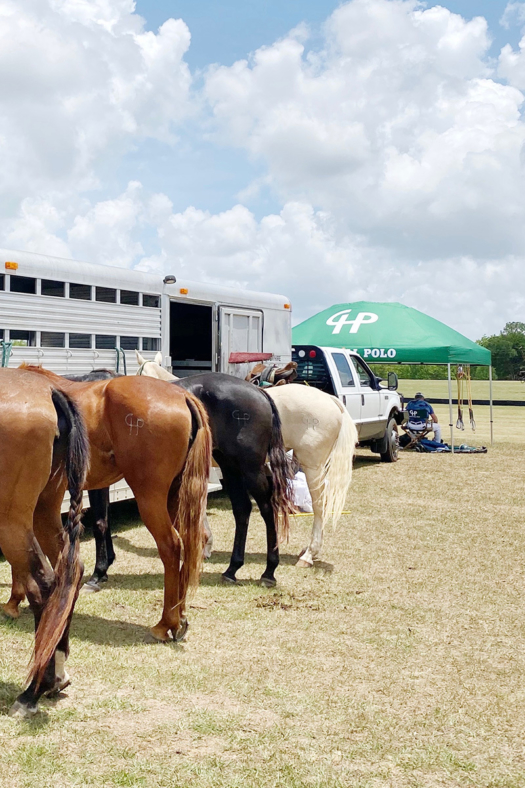 String of polo ponies getting ready to play in the tournament.