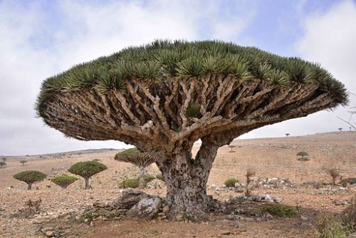 Dragon Blood Tree Socotra Island