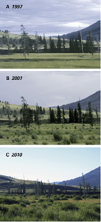 "Figure 1. The relative growth (Primarily willows) around a river junction in Yellowstone [Credit: : Ripple W. J., and Beschta, Robert L. ""Trophic Cascades in Yellowstone: The First 15 Years after Wolf Reintroduction."" Biological Conservation 145.1 (2012)]"