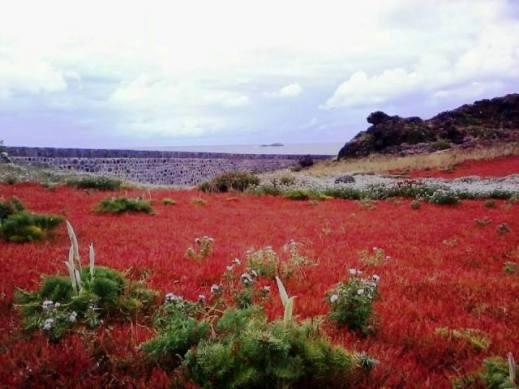 Distesa di fiori spontanei in riva al mare
