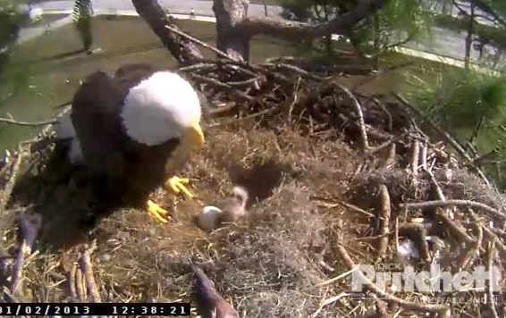 Eagle Cam Eaglet Hatches In Florida 2nd Expected Any Time Http Www Fox25boston Com News Eggs Start To Hatch Fla Nest 479734008